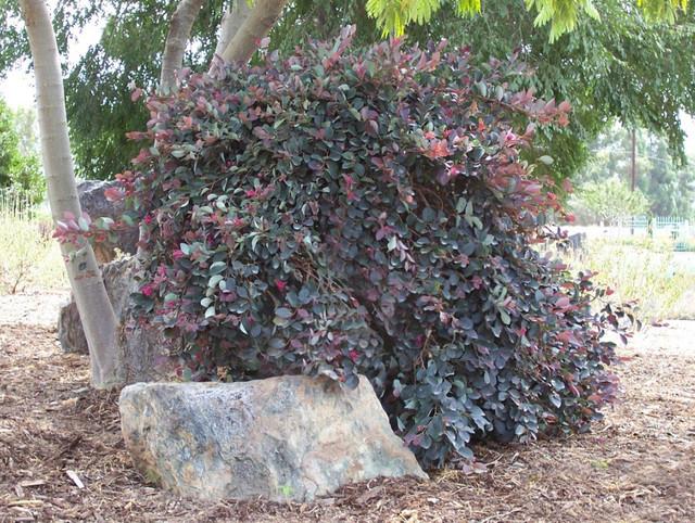 Great design plant fringe flowers star rises landscape by monrovia mightylinksfo