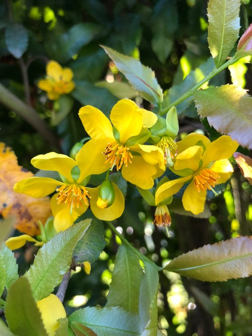 Yellow flowering shrub identification would love to know what it is thank you for any help mightylinksfo