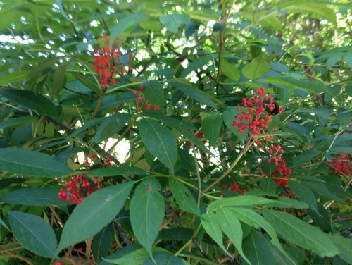 Landscaping Shrubs With Red Berries : Clusters of tiny red berries