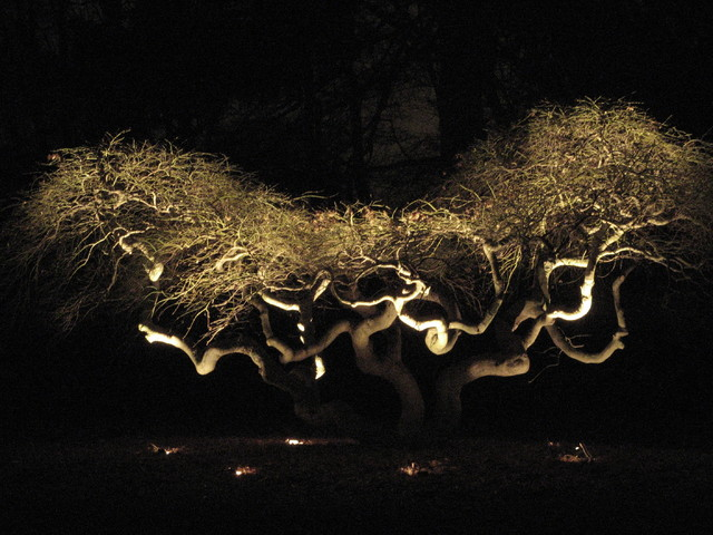 How To String Lights On A Maple Tree : A Japanese Maple - Exterior - bridgeport - by Possidento Lightscapes LLC