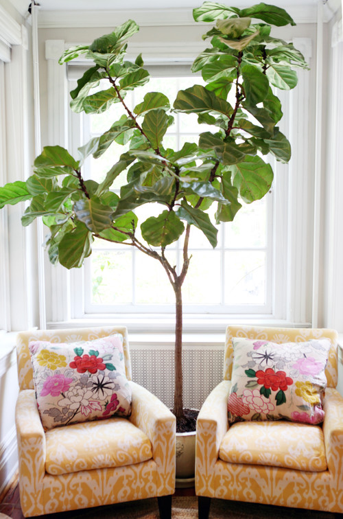 Cup Half Full I Have A Dream Of A Fiddle Leaf Fig
