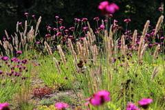 8 Stauden für den Garten, die gut mit Dürre & Hitze zurechtkommen