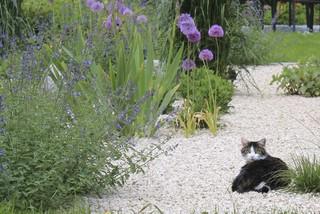 violette farbgebung mit katzenminze und zierlauch im kiesgarten landhausstil garten. Black Bedroom Furniture Sets. Home Design Ideas