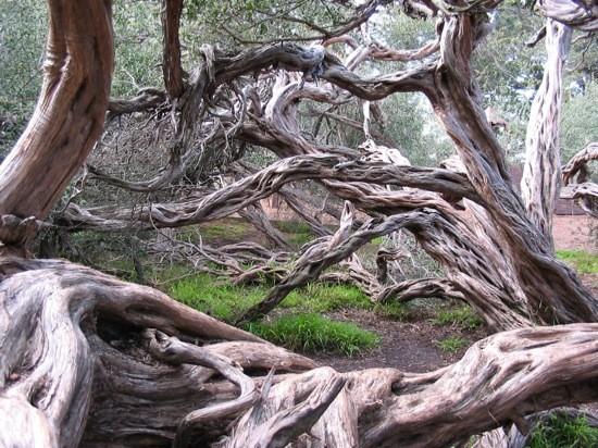 Coast Tea Tree (Leptospermum laevigatum) landscape