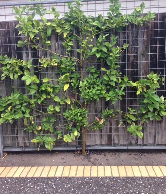 espalier fruit trees moderne jardin melbourne par the espalier shop. Black Bedroom Furniture Sets. Home Design Ideas
