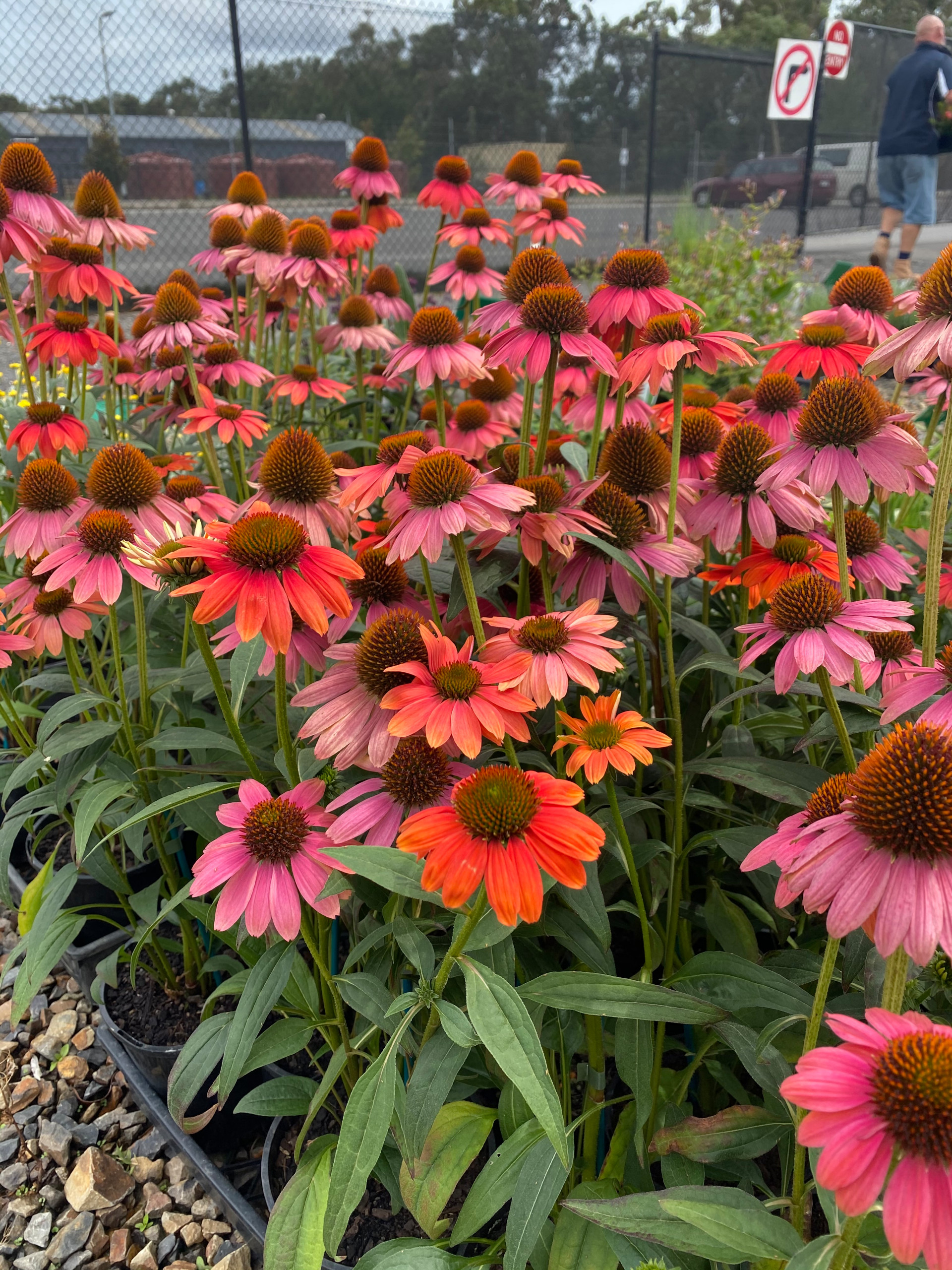 Planting Design - Summer Colour - Perennials