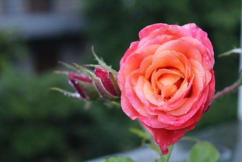 Fiori Che Assomigliano Alle Rose.Guida Alle Piante E Ai Fiori Del Mese Di Maggio