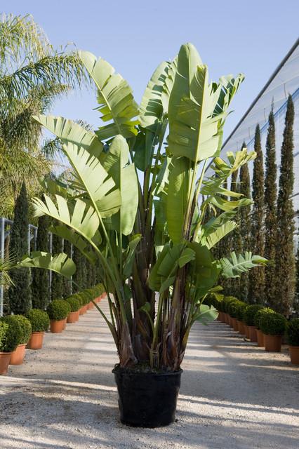 Strelitzia augusta tropicale giardino bari di - Giardino tropicale ...