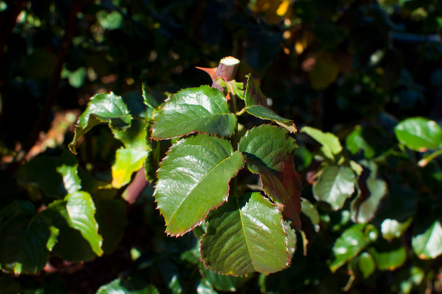 013.Rose Pruning Tips traditional-landscape