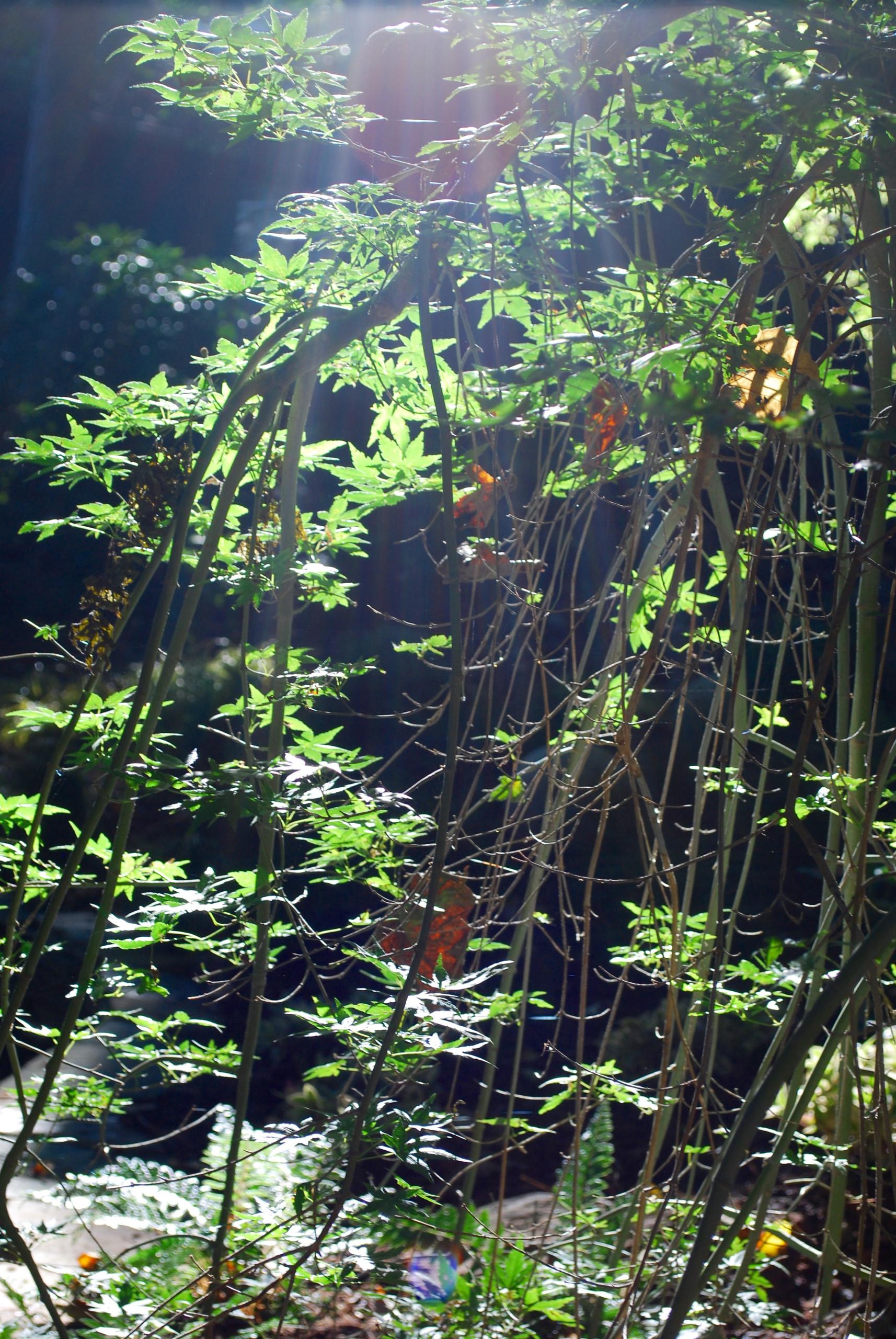 Acer palmatum 'Ryusen', backlit