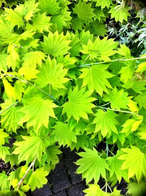 Acer shirasawanum aureum modern landscape other