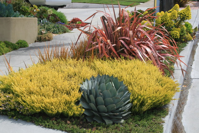Agave Parryi And Coleonema Pulchellum Sunset Gold