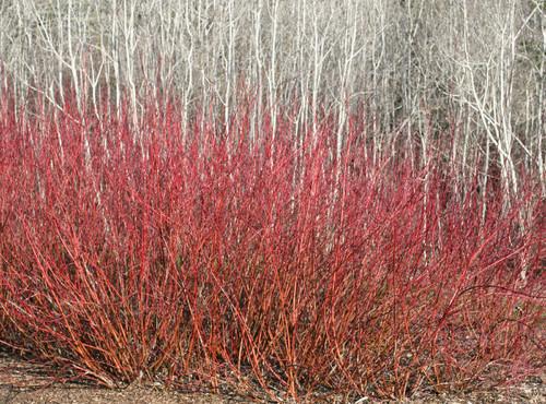 American Dogwood (Cornus Sericea) and Quaking Aspen (Populus Tremuloides)