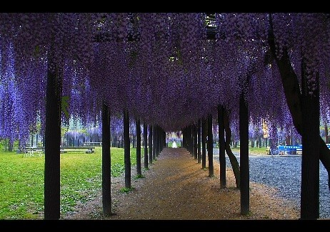 Wisteria asian-landscape