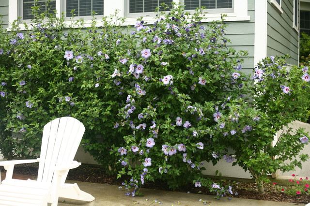 Azurri Blue Satin Rose Of Sharon Hibiscus Eclectic Landscape