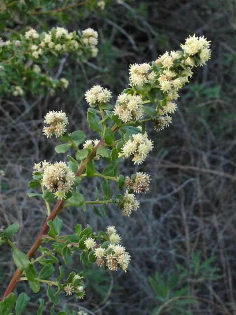 traditional landscape Baccharis pilularis bloom