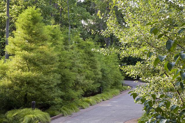 Bald Cypress Hedge contemporary-landscape