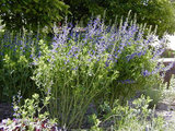 landscape Great Native Plant: Baptisia (4 photos)