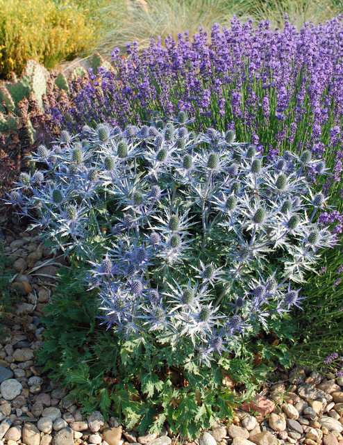 Big Blue Sea Holly Eryngium Big Blue Contemporary