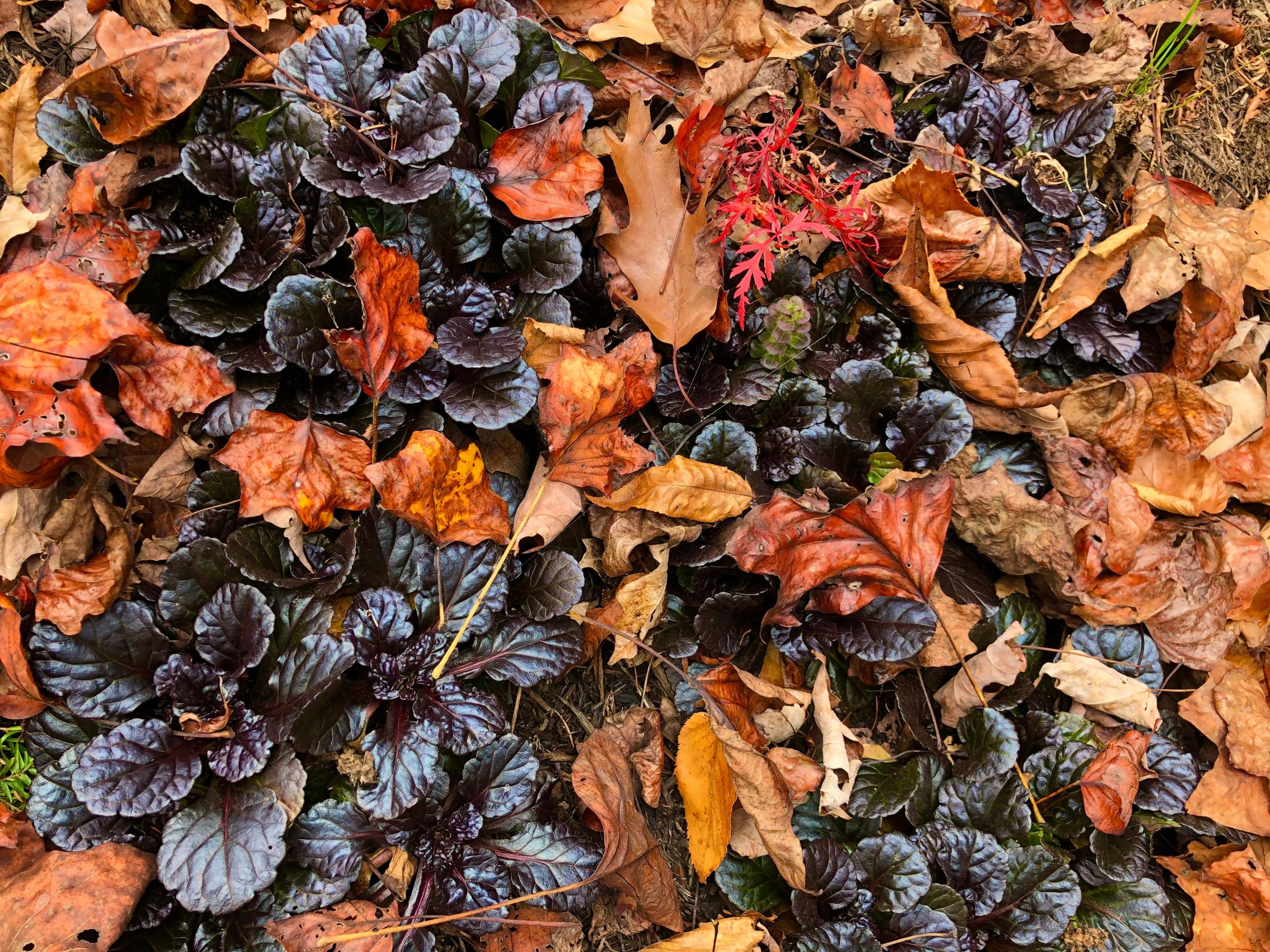 'Black Scallop' ajuga meets fallen leaves
