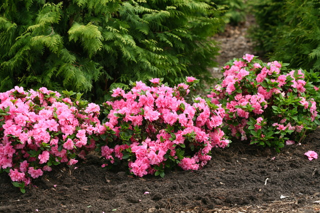 Bloom A Thon 174 Pink Double Rhododendron Traditional Landscape