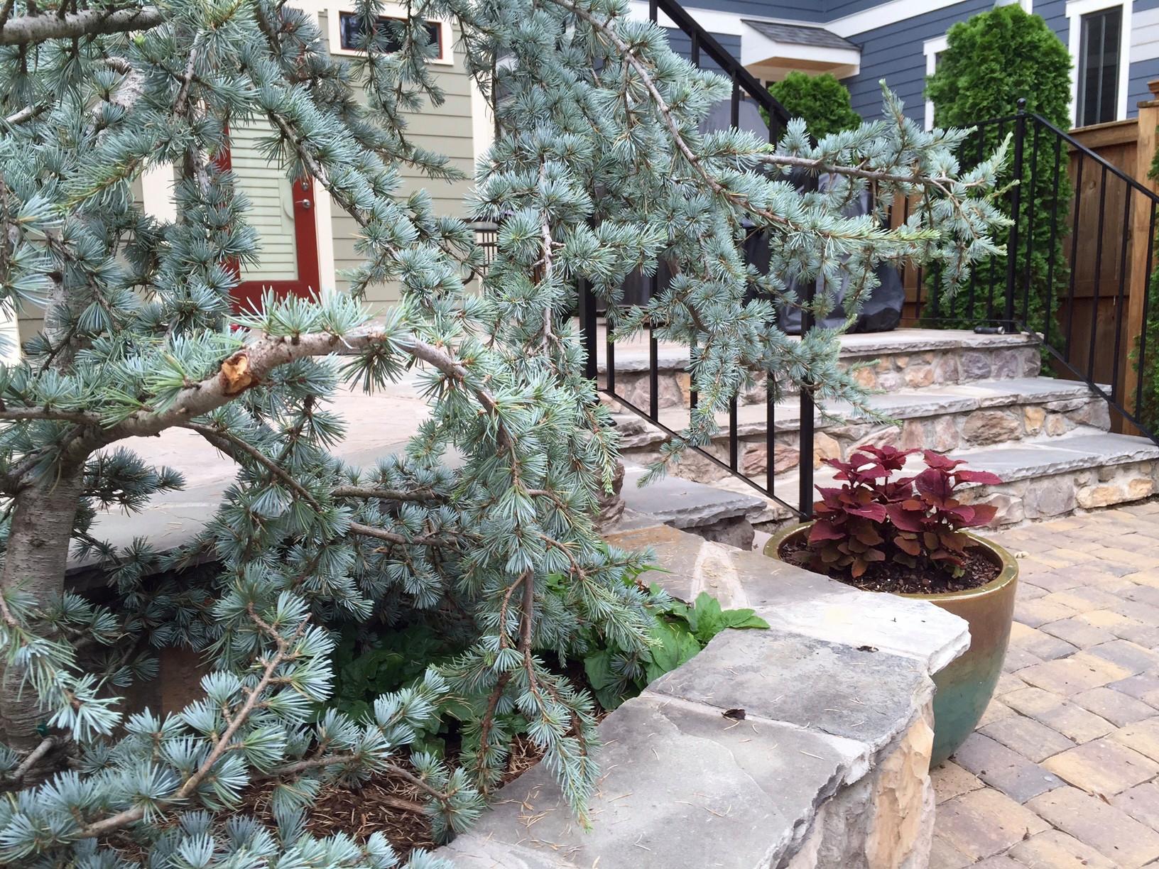 Blue Atlas Cedar and coleus