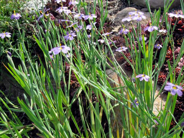Blue-Eyed Grass landscape