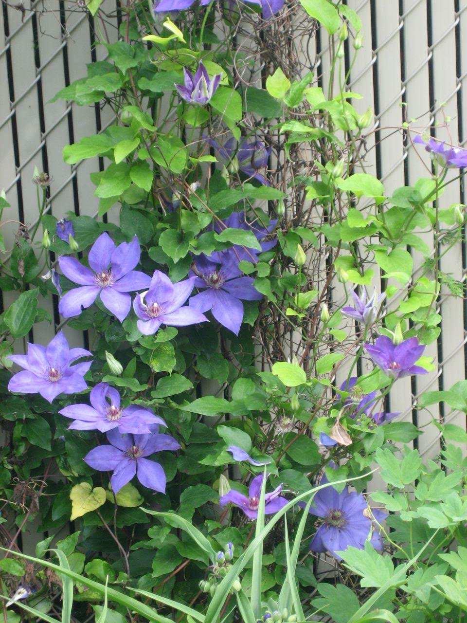 Blue flowering perennials