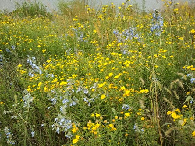 Blue Sage & Golden Aster traditional-landscape