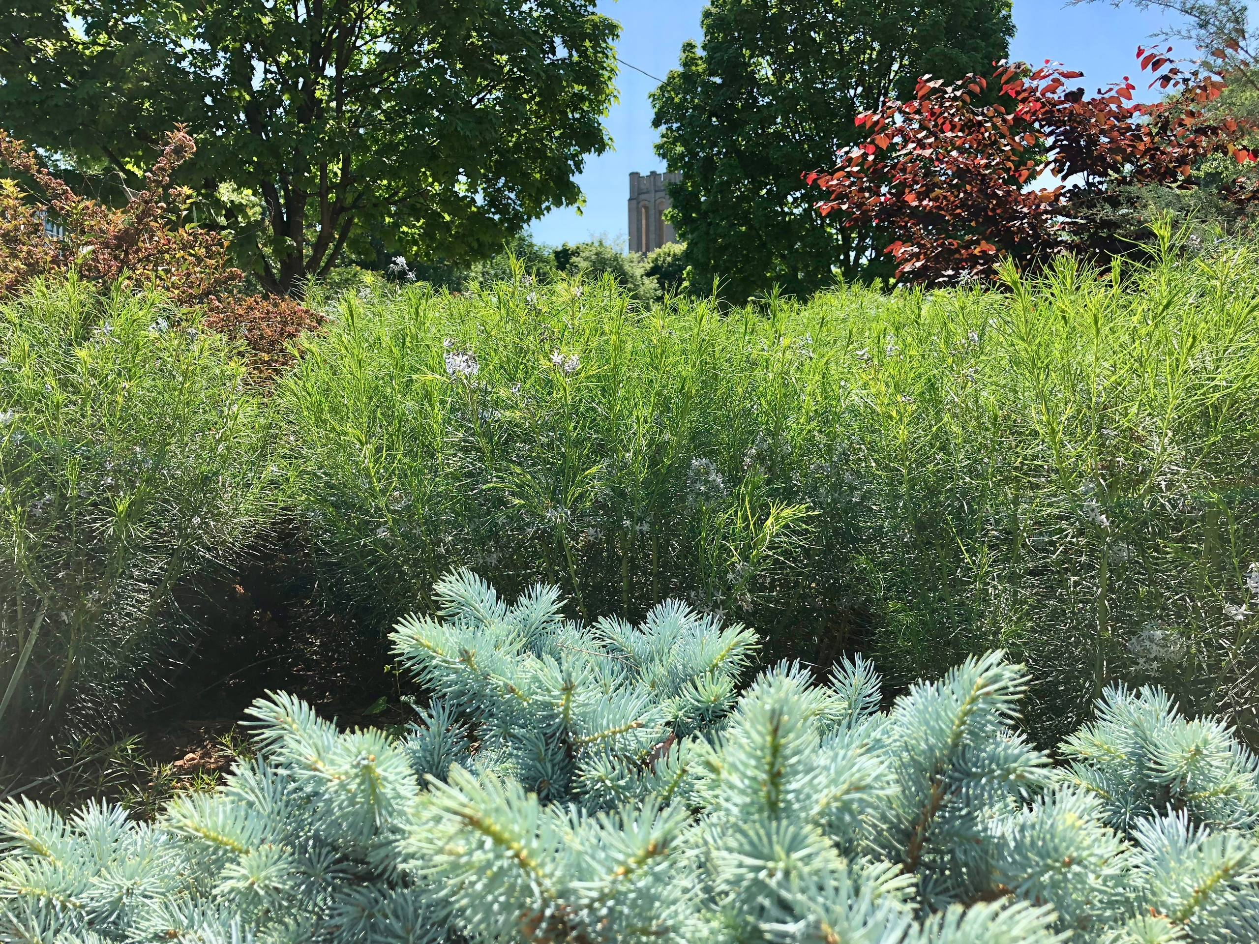 Blue spruce and amsonia in a city oasis.