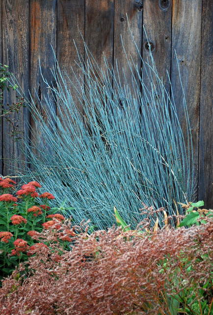 bluestem joint fir (Ephedra equisetina) contemporary landscape
