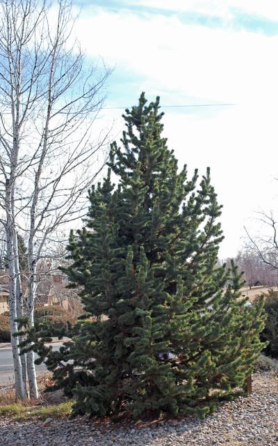 bristlecone pine, Pinus aristata contemporary-landscape