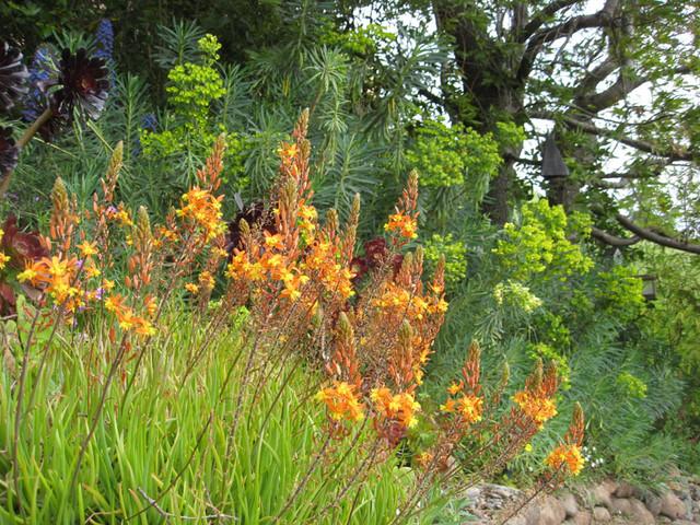 Bulbine Frutescens Hallmark Mediterranean Landscape