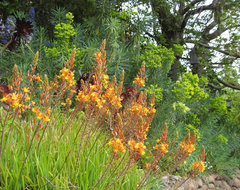 Bulbine frutescens Hallmark contemporary landscape
