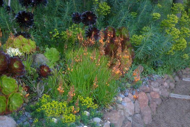 Bulbine frutescens 'Hallmark' contemporary-landscape
