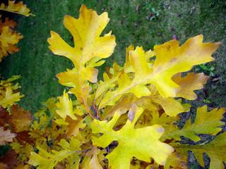 Bur Oak Leaves in Fall - Landscape - Other