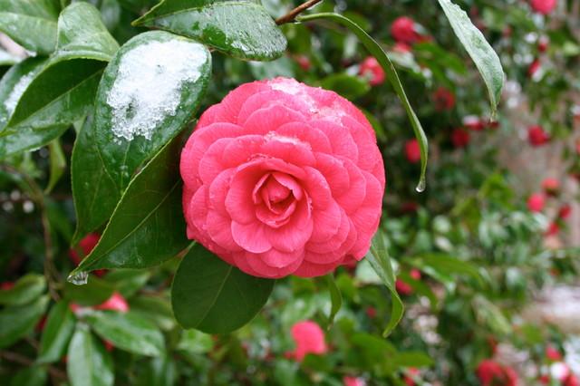 Camellia traditional-landscape