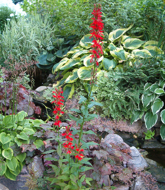 Cardinal flower in water feature traditional landscape - Flowers in the front yard ...