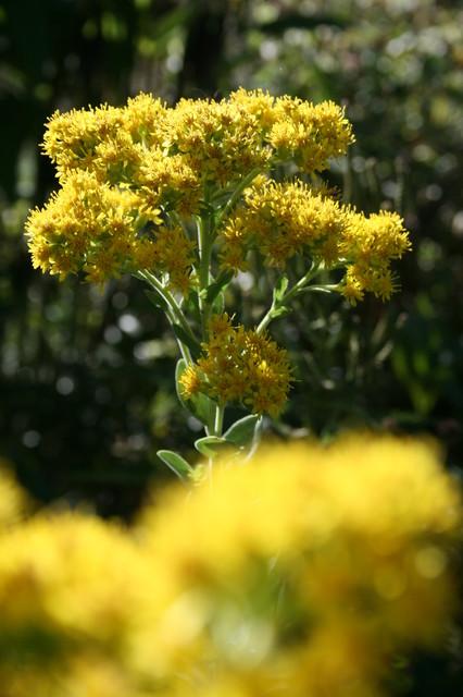 Celebrate Our Many Native Goldenrods landscape