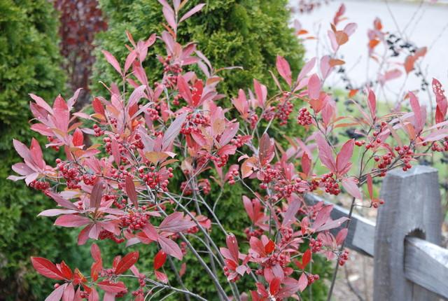 Chokeberry Landscape Burlington By Paintbox Garden