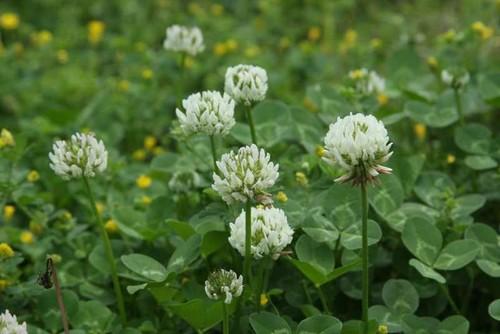 clover (Trifolium repens)
