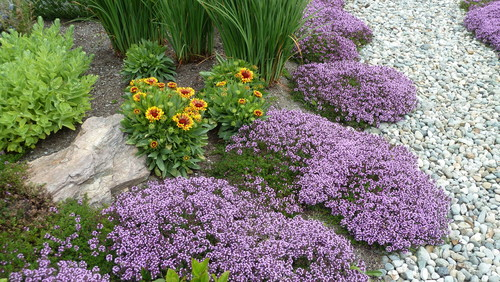 What Is The Purple Ground Cover