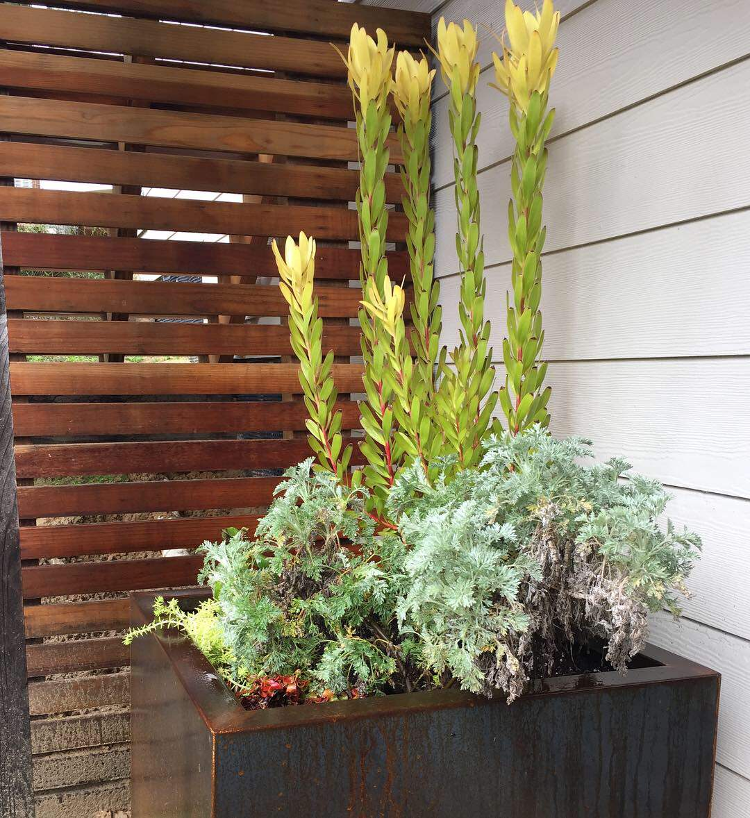 Corten steel planters by Veradek are awesome! A nice price and well made. They rust to a beautiful, varied patina that along with the straight lines of the steel creates a nice mix of organic and geom