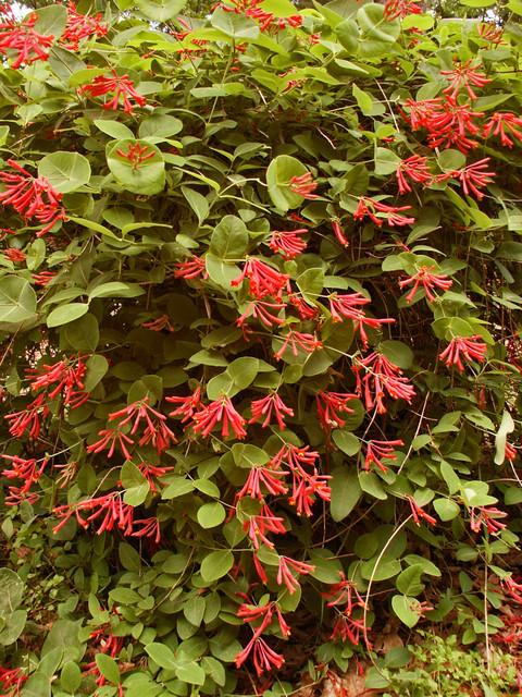 PlantFiles Pictures: Lonicera, Coral Honeysuckle, Trumpet ...  Trumpet Honeysuckle