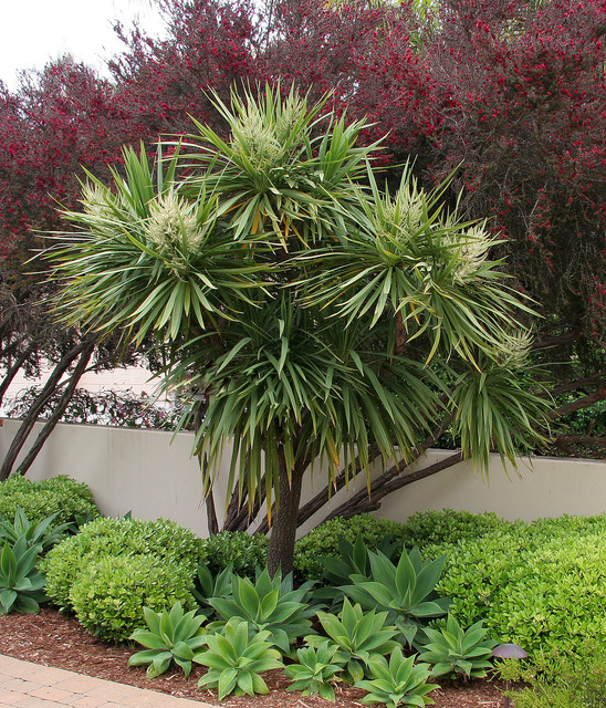 Cordyline australis red leptospermum agave attenuata for Arbre exotique exterieur