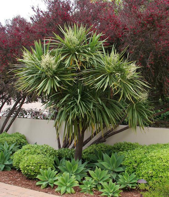 Home Garden Design Ideas Houzz Green Tropical House Small: Cordyline Australis, Red Leptospermum, Agave Attenuata