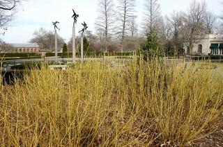 Cornus sericea 'Flaviramea' traditional-landscape