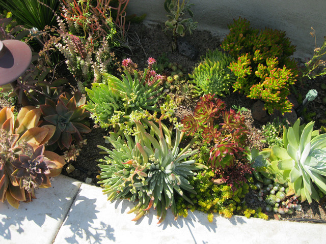 Costa mesa native succulent front yard mediterranean for California native landscape design
