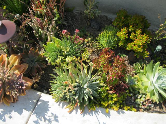 Costa Mesa Native/Succulent Front Yard Mediterranean Garden
