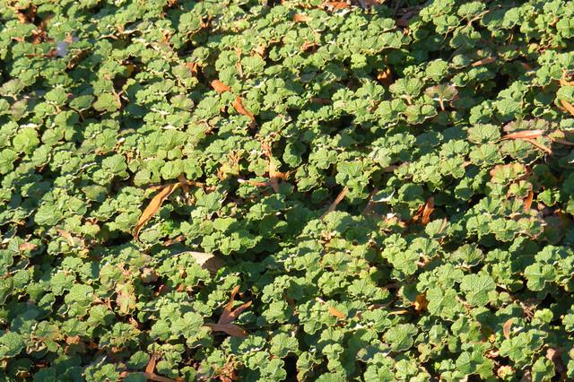 Creeping raspberry (Rubus calycinoides) landscape